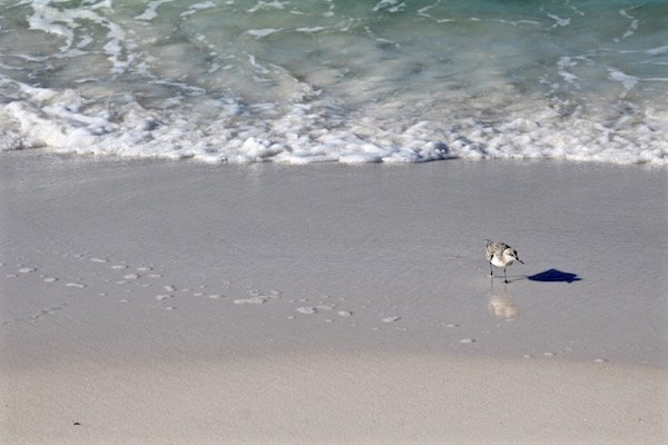 destin florida bird on beach