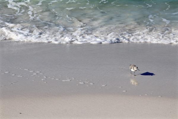destin florida bird on beach